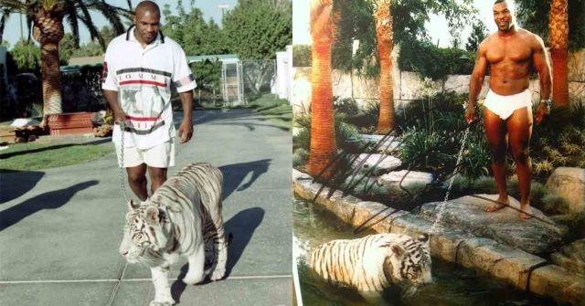 животные звезд - тигр тайсона